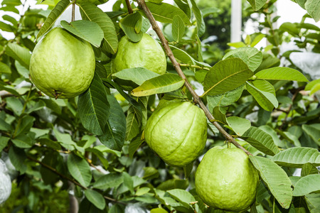 guava fruit on the tree 스톡 콘텐츠