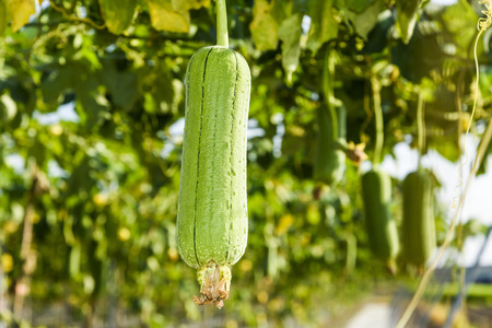 loofah gourd plant in garden, luffa cylindrica. Stock Photo