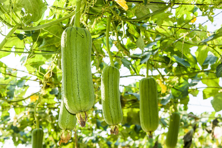 loofah gourd plant in garden, luffa cylindrica. Imagens