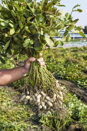Boer oogst pinda op landbouw plantage. Stockfoto - 99096996