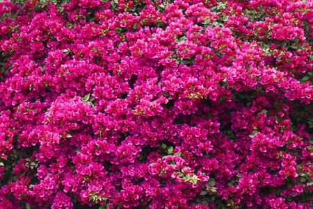 Bougainvillea flower in the garden