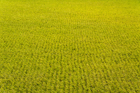 Rice crop soon to be harvest Stock Photo