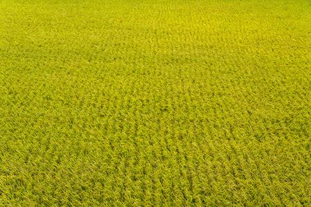 Rice crop soon to be harvest Reklamní fotografie