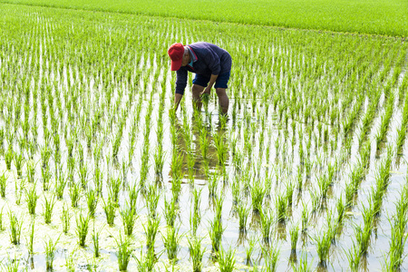 farmer transplanting rice seedlings in paddy field. Фото со стока
