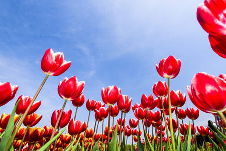 Tulip. Beautiful bouquet of tulips. Colorful tulips. Tulips in spring, colourful tulip Stock Photo