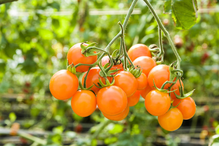 Branch of fresh cherry tomatoes hanging on trees in organic farm. Stock Photo