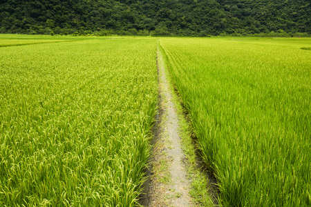 Green Rice Field with Mountains Background, Taiwan eastern.