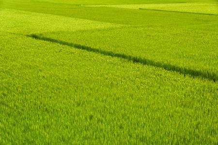 Green Rice Field , Taiwan eastern.