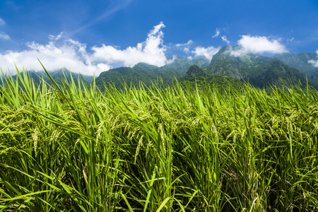 Rice field with Blue sky and cloud, Taiwan eastern. Stock Photo