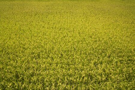 Rice crop soon to be harvest Banque d'images