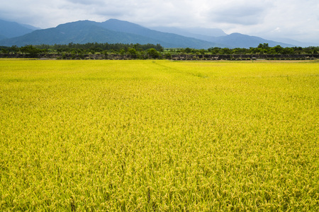 Green Rice Field with Mountains Background under Blue Sky, Taiwan eastern.