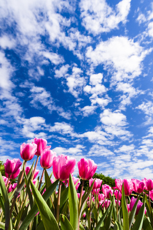 Beautiful tulips on blue sky background