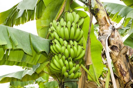 ripe banana on the banana tree in taiwan