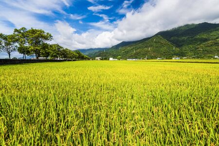 Ripe paddy Field with Mountains Background under Blue Sky, Taiwan eastern.