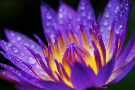 purity: Close up purple Lotus Water Lilly with pollen, the flower symbolizes religion, buddhism, purity Stock Photo