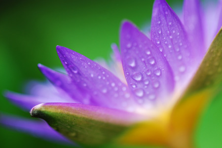 Close up purple Lotus Water Lilly, the flower symbolizes religion, buddhism, purity