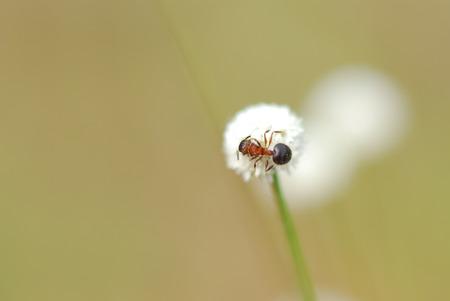 eriocaulaceae: Image of soft white flower with blurry red ant on top, Manee Dheva Wild flower blooming in Thailand (Eriocauulon smitinandii Moldenke, ERIOCAULACEAE) Stock Photo