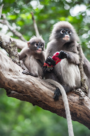 Mother and baby Dusky leaf monkey, Spectacled Langur in Thailand