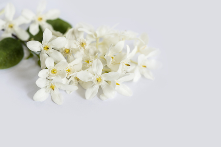 White petals yellow pollen flowers with green leaves isolated on white background, Wringhtia antidysenterica Flowers