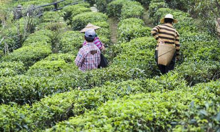 収穫は、茶畑での作業