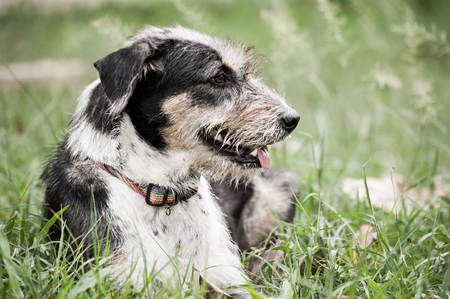 White black dog long hairy lay down on the green grass play ground with smiling face.