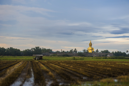 Panorama view of Golden big Bhuddha statue from the back side, locates among the burnning rice field at Wat Muang (Muang temple), Thailand