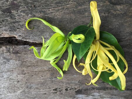 Yellow Thai Ylang-Ylang or ilang-ilang flower on wooden table