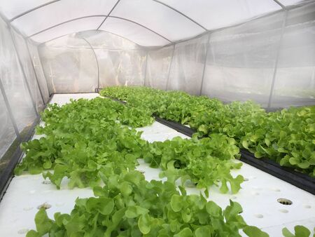 Hydroponics plants, in water, without soil. Aeroponics Salad vegetable.