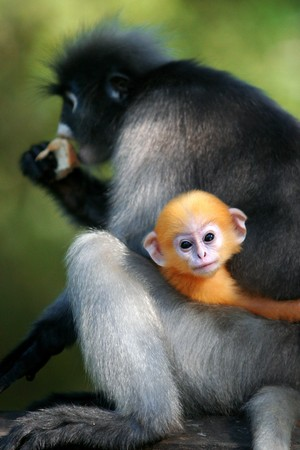 Dusky Leaf Monkey or Dusky Langur Stock Photo - 7308624