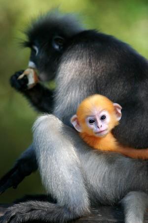 Dusky Leaf Monkey or Dusky Langur Stock Photo - 7308624