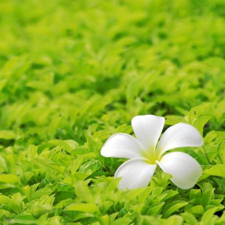 Plumeria on Lawn  photo