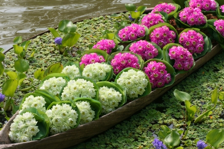 Lotus flowers are in boat photo