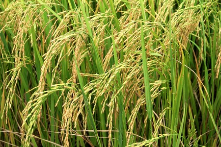rice plant: rice field in a tropical country