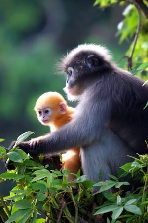 dusky: Dusky Leaf Monkey Stock Photo