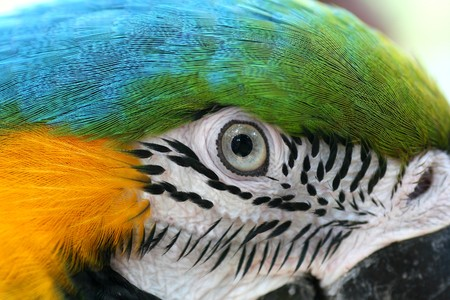 Head shot of macaw parrot photo