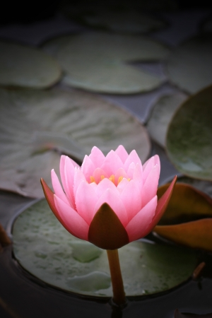 chinese buddha: Pink lotus Stock Photo