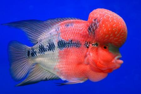 Cichlidae red fish Stock Photo - 7652026