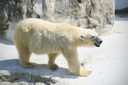 Polar bear photo