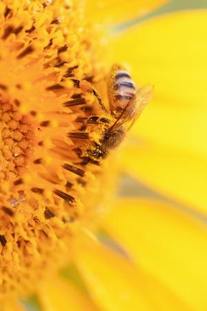 Bee on sunflower photo