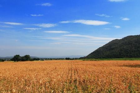 Corn field and blue sky photo