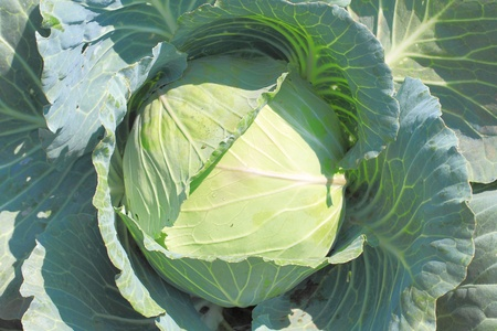 cabbage patch: Cabbage on plant