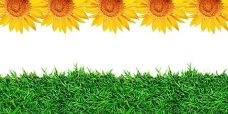 grass close up: beautiful yellow sunflower and green grass