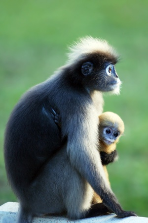 dusky: Dusky Leaf Monkey in thailand