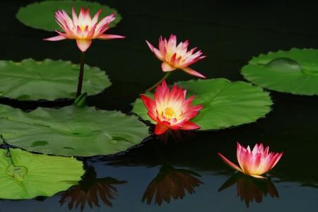 Blossom lotus flower in garden