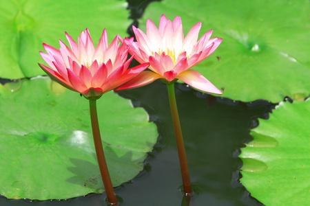 Blossom lotus flower in garden Stock Photo - 10380493