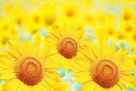 beautiful yellow Sunflower petals closeup Stock Photo - 10273678