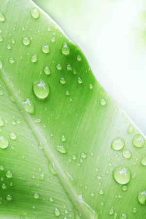 water droplets: water drop on green leaf