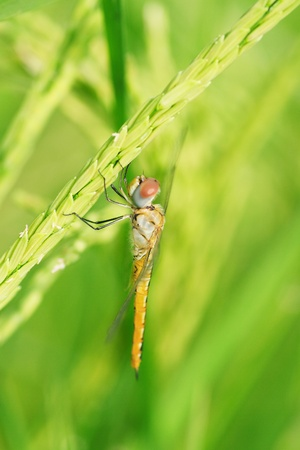 anisoptera: Dragonfly on rice field