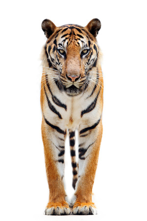 tiger isolated: bengal tiger  Stock Photo