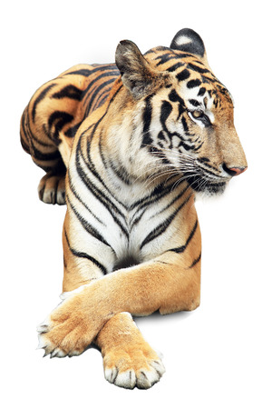 roaring tiger: bengal tiger isolated on white Stock Photo